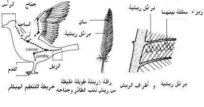 الشكل الخارجي للطيور  الجزء الاول 571_3935_pig
